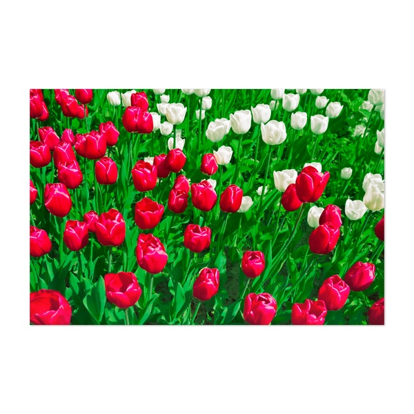Vibrant Red And White Floral Tulip Festival by Beli