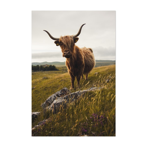 Highland Cow 01 by Mitchell Coyle