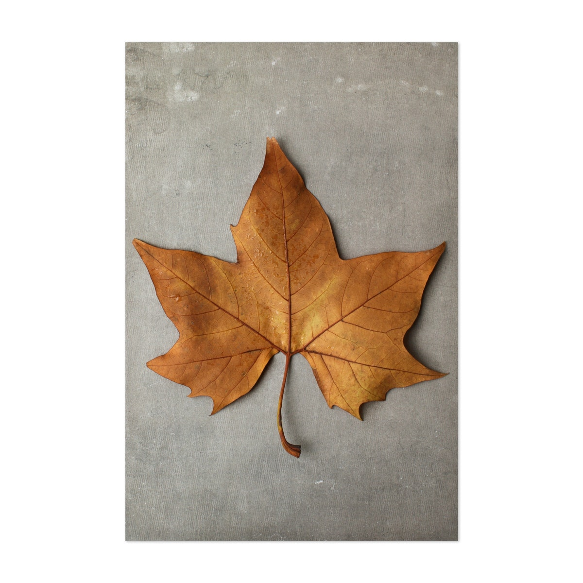 1 Autumn Maple Leaf
