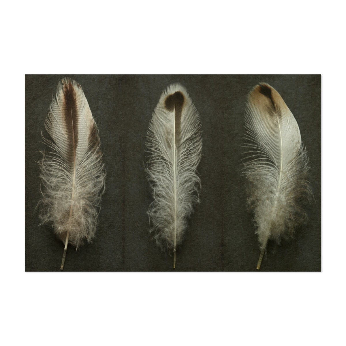 Duck Feather Triptych