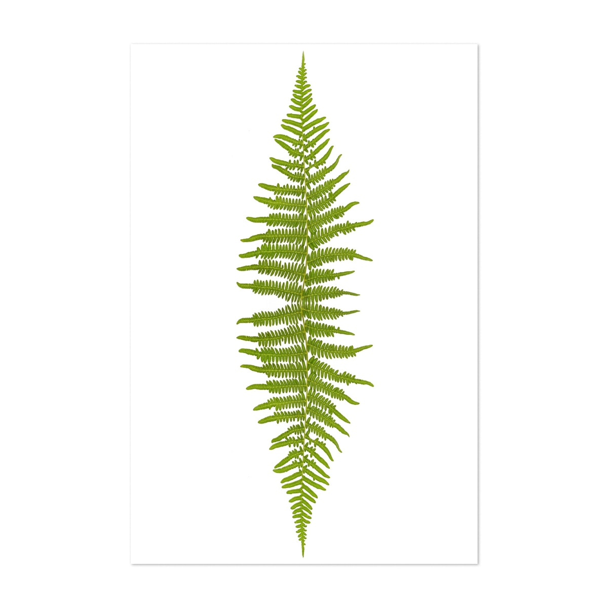 Tall Green Fern on White