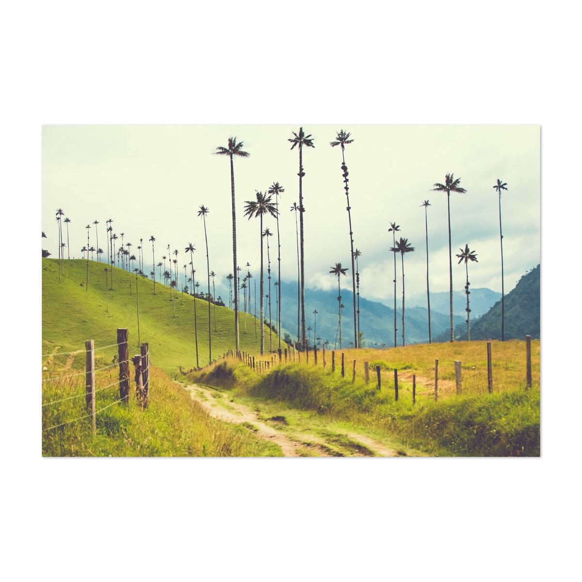 Cocora Valley Palms Colombia