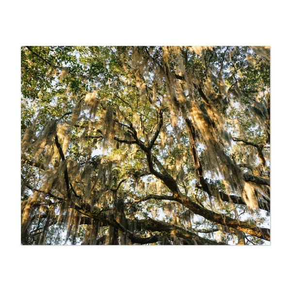 Savannah Spanish Moss XIII by Bethany Young