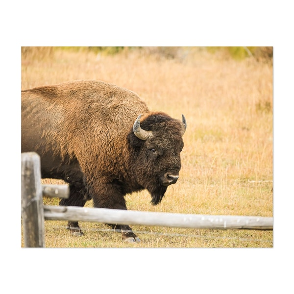 Large Bison in Yellowstone National Park by Bahjat Shariff