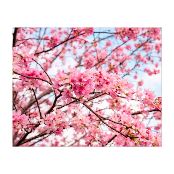 Spring Cherry Blossoms by Andrew Haimerl