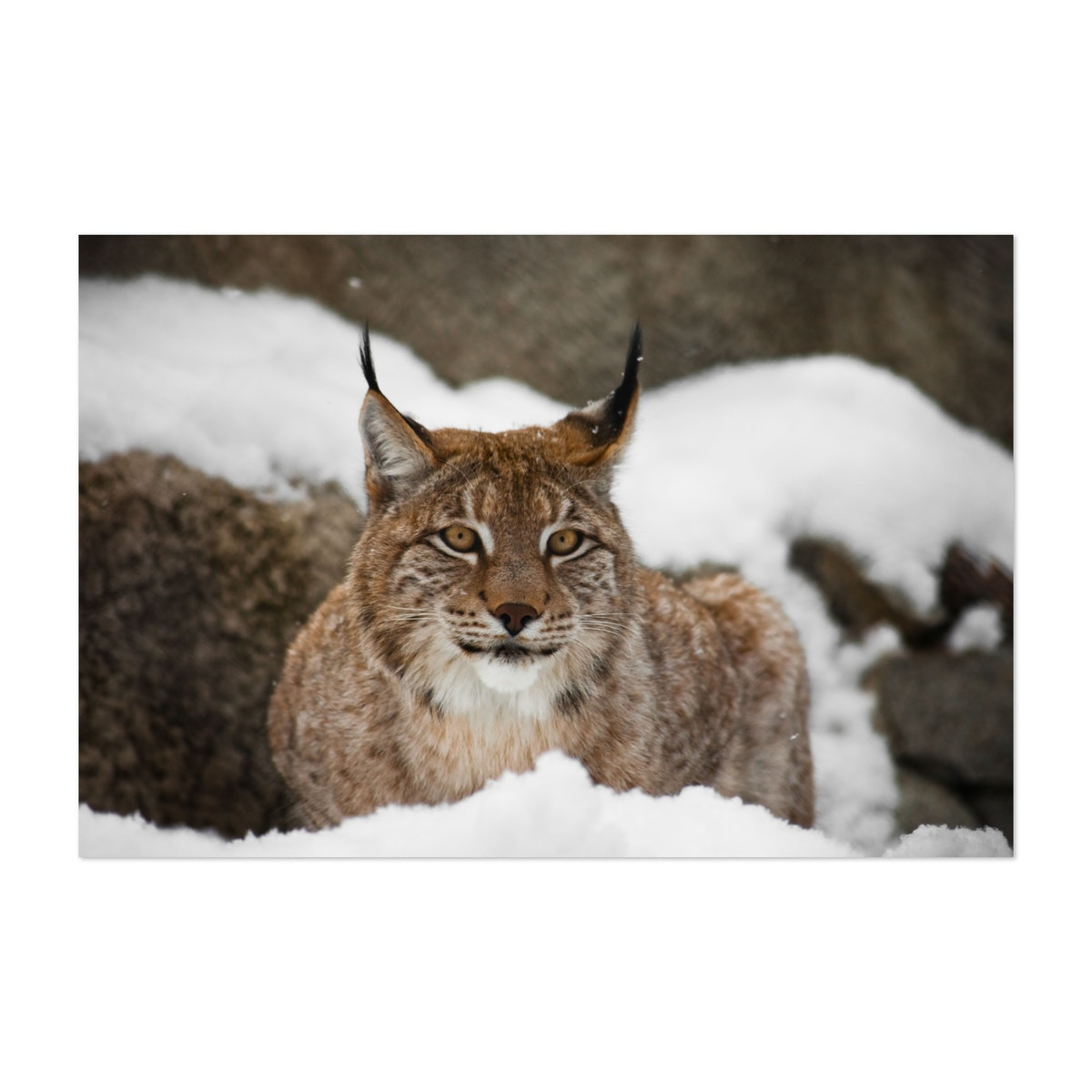 A beautiful and strong wildcat lynx sits quietly (lying) full face