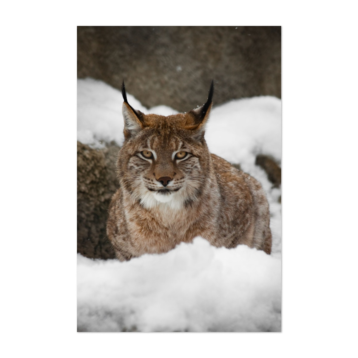 A beautiful and strong wildcat lynx sits quietly (lying)