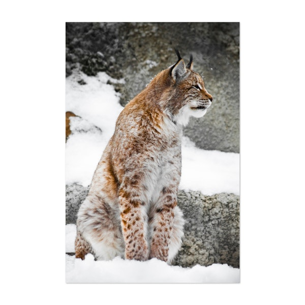 A beautiful and strong wildcat lynx sits by Mikhail Semenov