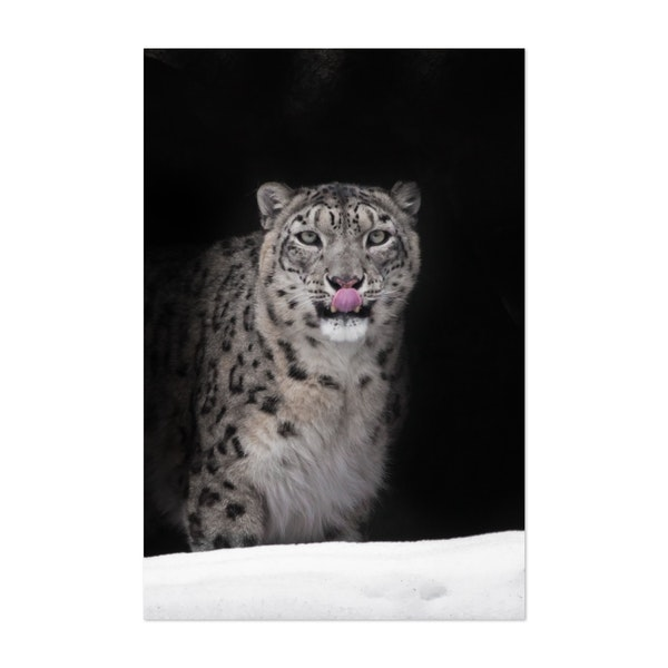Snow leopard in a dark mountain cave covered with snow by Mikhail Semenov