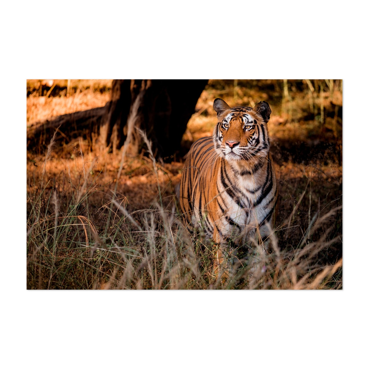 Bengal Tiger In High Grass