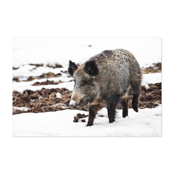 Powerful but cute wild boar (wild boar female) by Mikhail Semenov
