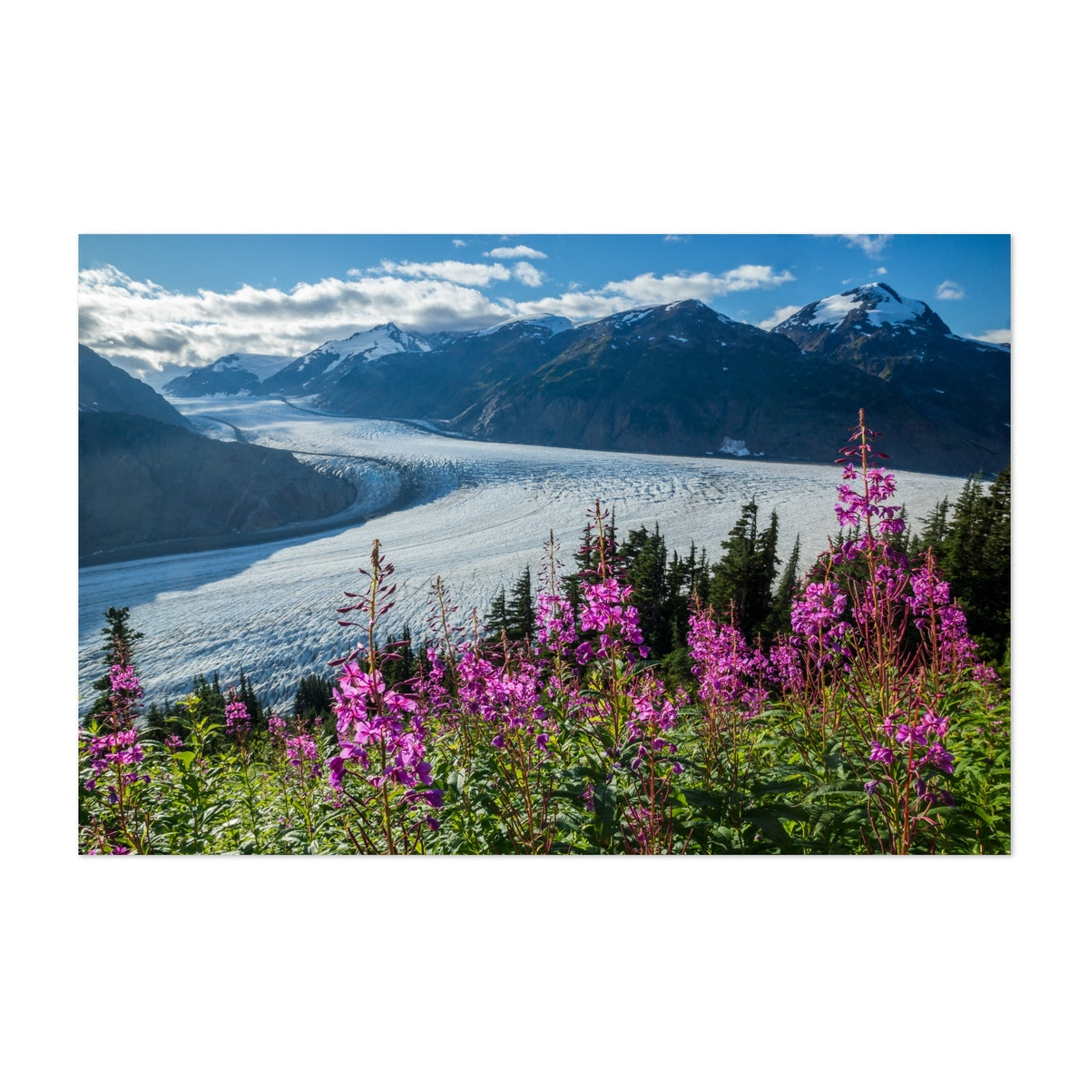 Fireweed And Glacier