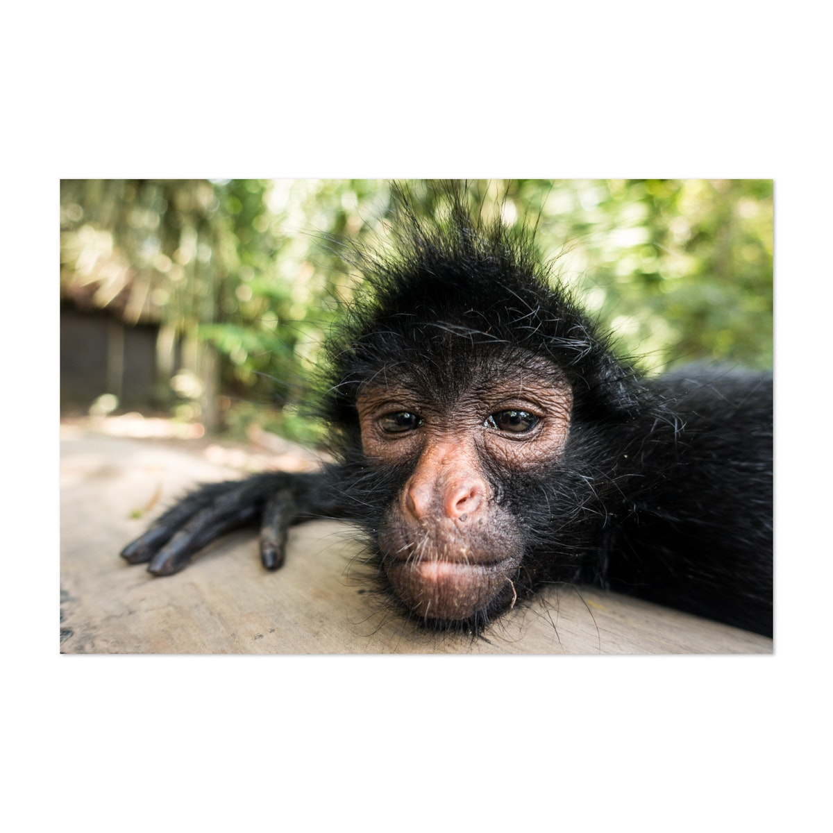 Funny Portrait Of A Curious Spider Monkey